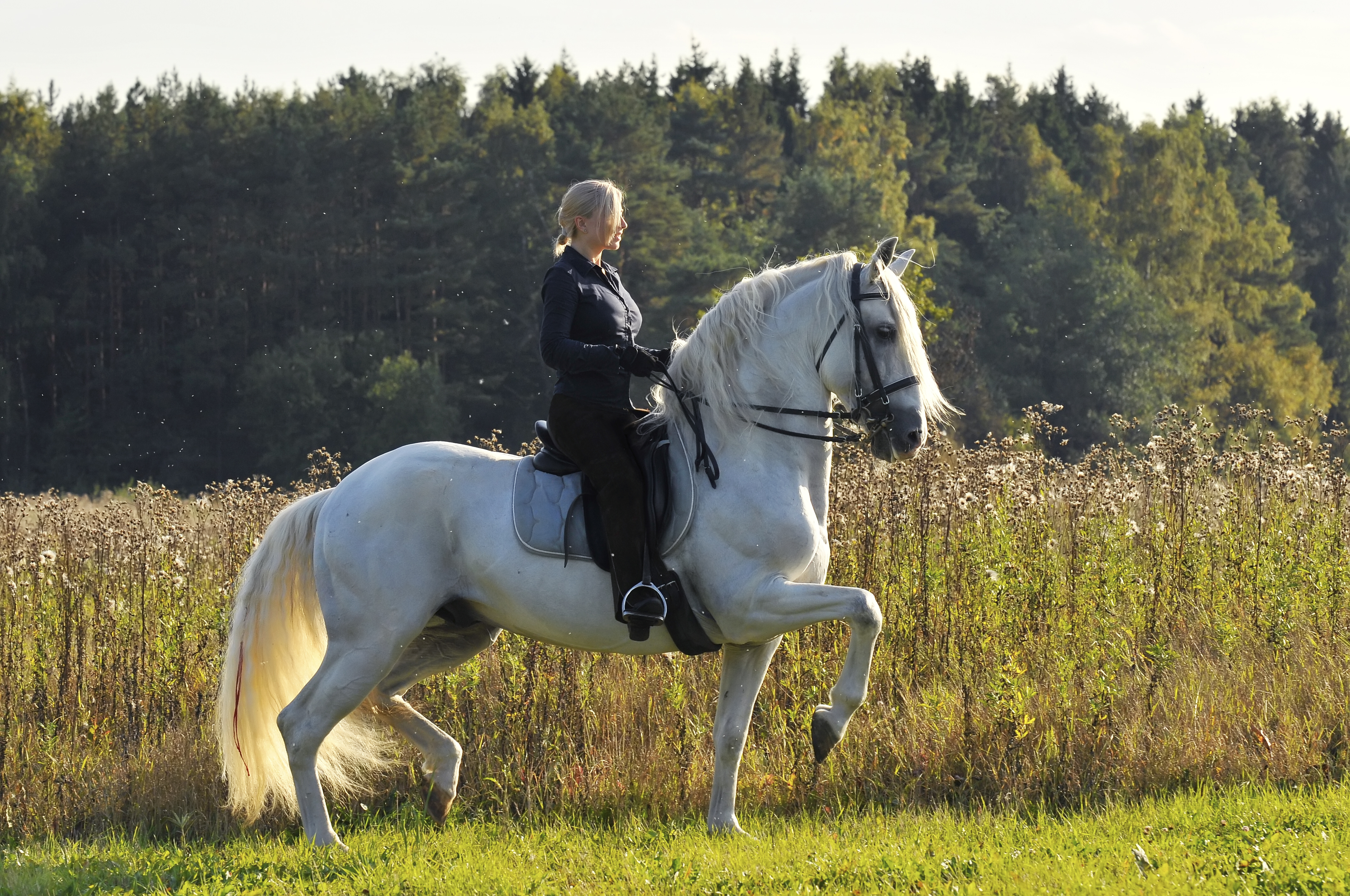 Woman in show attire riding a white andalusian horse