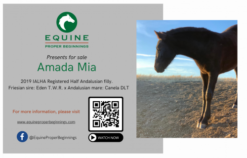 Andalusian Filly for Sale